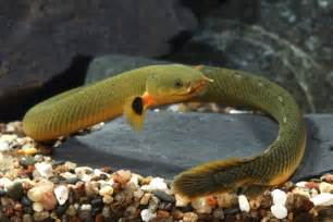 Ropefish (Erpetoichthys calabaricus) aka Reedfish Tropical Fish Keeping