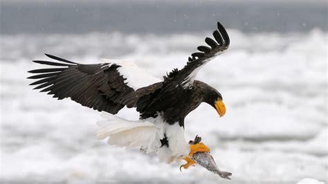 Steller's Sea eagle San Diego Zoo Animals & Plants