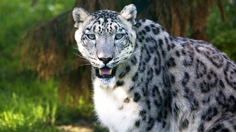 Snow Leopard Download HD Wallpapers