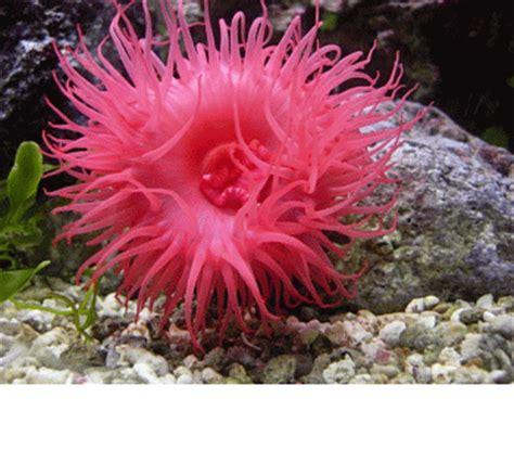 Anémone de mer ( Actinie ) / Actinia animaux animal : LE