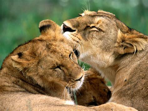 Beautiful Animals Safaris: Amazing Lions: Big Cats Africa