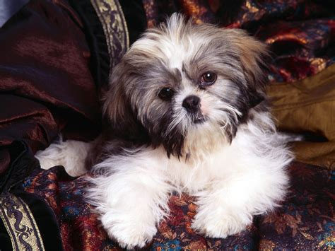 shih tzu Dogs Wallpaper (13248778) Fanpop