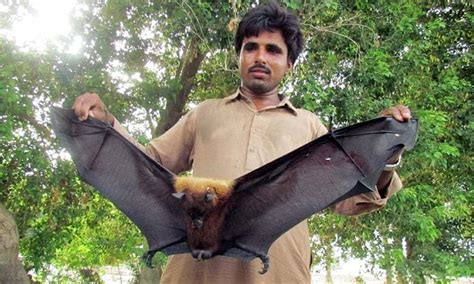 Should we worry about the Megabats in Sindh? Blogs
