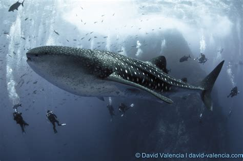 Whale Shark encounters David Valencia