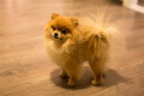 All You Wanted to Know About the Itsy bitsy Teacup Pomeranians