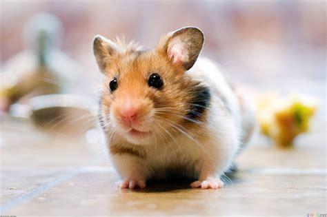 Cute Hamster Wallpapers Wallpaper Cave
