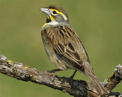 Dickcissel Audubon Field Guide
