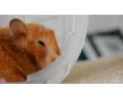 syrian hamster gifs WiffleGif