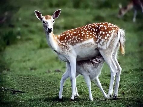 Deer Wildlife Info Facts and Photos The Wildlife
