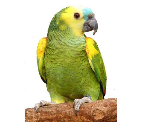 O GRITO DO BICHO: papagaio