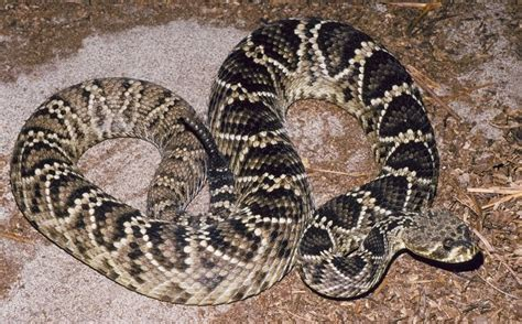 AVEEK Blogs: Eastern diamondback rattlesnake