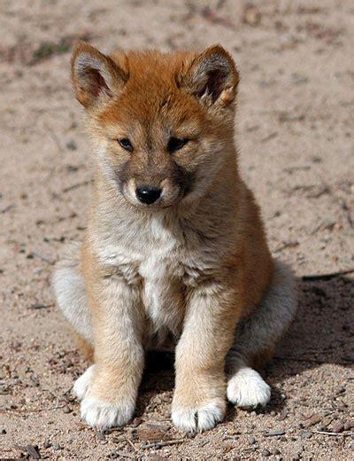 dingo images Dingo wallpaper and background photos (31116133)