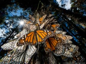 Monarch Butterflies Photo, Animal Migration Wallpaper