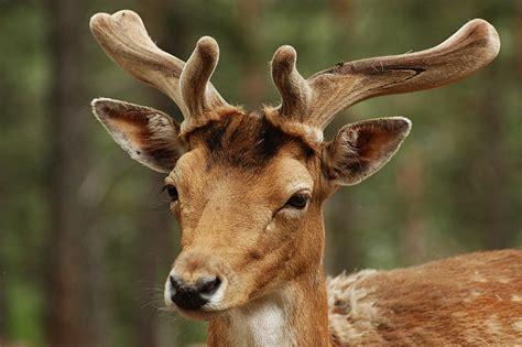 Free photo: Deer, Animals, Nature, Animal Free Image on