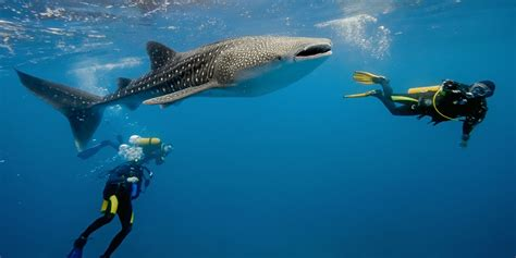 How Far Would You Go to Dive with Whale Sharks