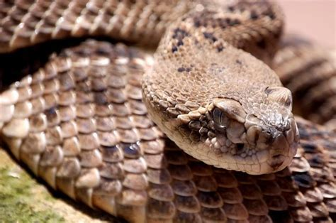 Western Diamondback Rattlesnake Facts Western
