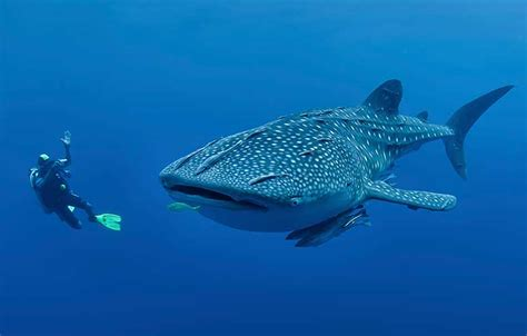 Whale Shark Watching in Oslob Cebu Philippines Cebu Tours