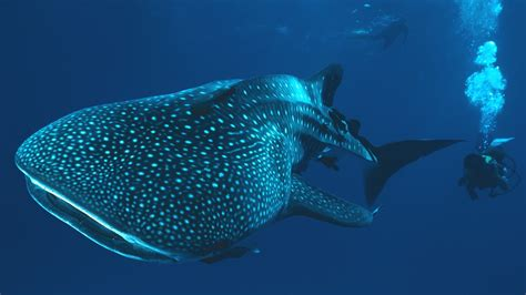 whale shark underwater shark divers Wallpapers HD