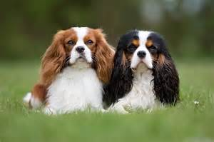 Why We Adore Cavalier King Charles Spaniel Dogs Pet Care Facts