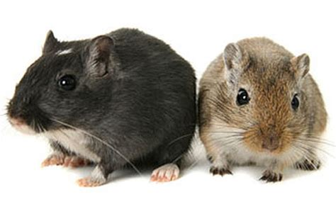 Not Black Rats, but Gerbils May Have Caused the Spread of