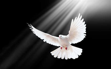 White Pigeon Flight Spread Wings Rays Black Wallpaper
