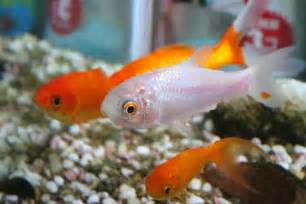 Getting Pet Fish for Children: A Quick Guide From Pets Adviser