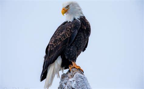 老鹰飞翔的高清壁纸图片展示 老鹰飞翔的高清壁纸相关图片下载