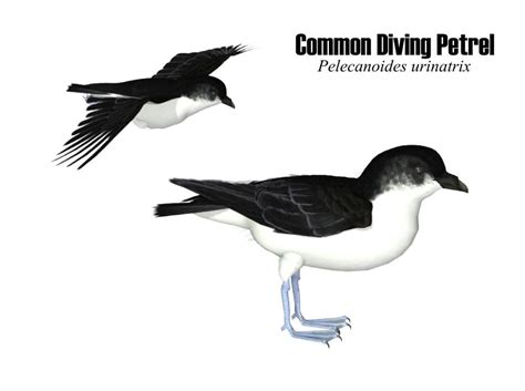 Common Diving Petrel SongbirdReMixWiki