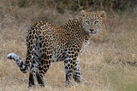 Animals of India #45 : The Leopardess of Bera Walk the