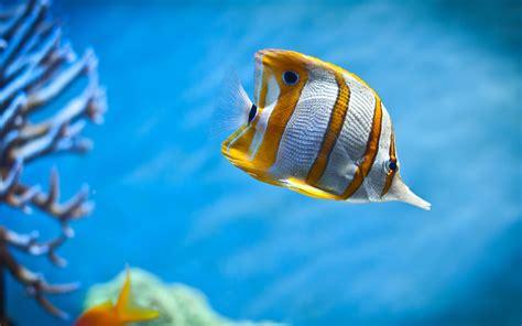 terralonginqua: Copperband Butterfly Tropical Fish Aquarium Corals Desktop Wallpaper
