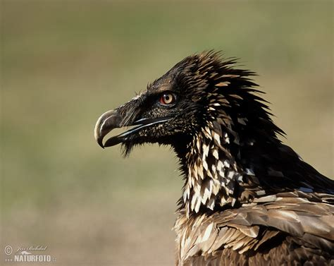 Bearded Vulture Photos, Bearded Vulture Images, Nature