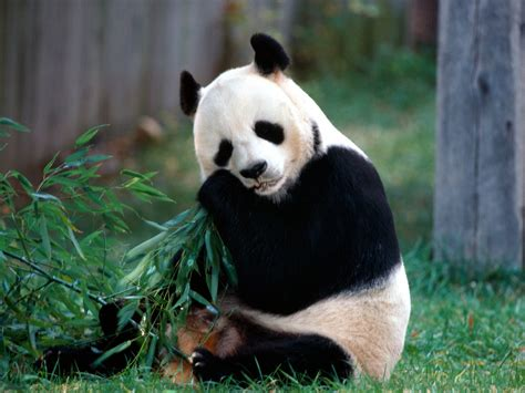 ENCYCLOPEDIA OF ANIMAL FACTS AND PICTURES: PANDA