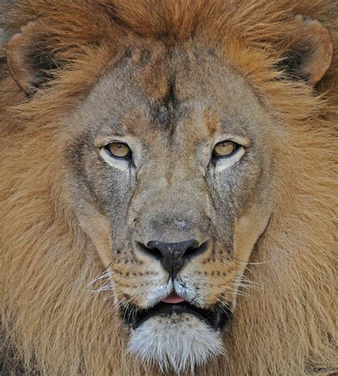 Beautiful Animals Safaris: Amazing Lions: Big Cats Africa