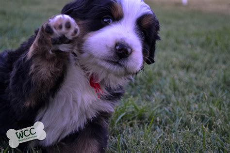 WCC's Bernese Mountain Dog Puppies