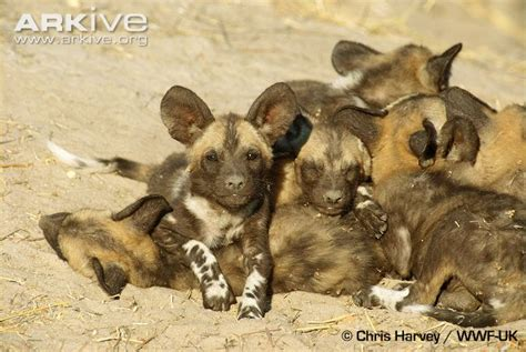 African wild dog photo Lycaon pictus G2154 Arkive