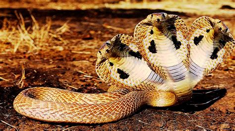 Indian King Cobra Snake Wallpaper (50 images)