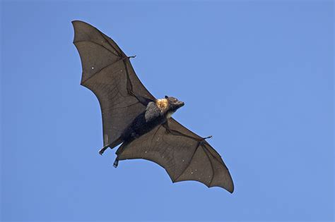 Flying fox, Fiji Pteropus tonganus