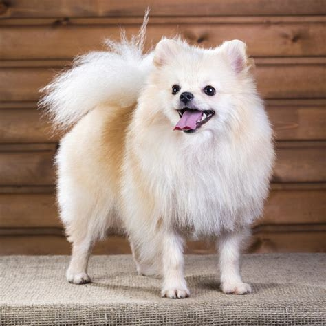 List of Small House Dogs