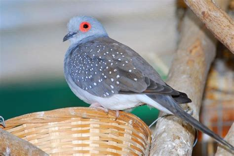 Diamond Dove, wild/grey color Pets Pinterest Student