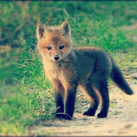 Really Cute Baby Foxes thePlundercom