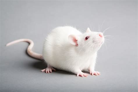 Cute White Mouse Animal