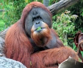 Life with Dylan: Endangered Species Monday Orangutan