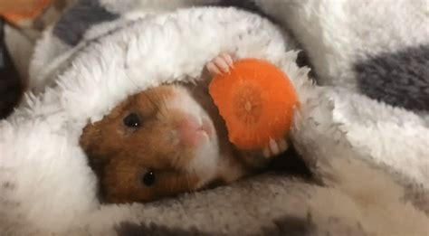 Hamster Snack GIF Find & Share on GIPHY