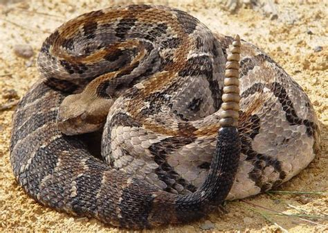 Eastern Diamondback Rattlesnake Facts: The Eastern