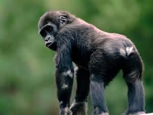 monkey,indian monkey,funny spiderman monkey hd images
