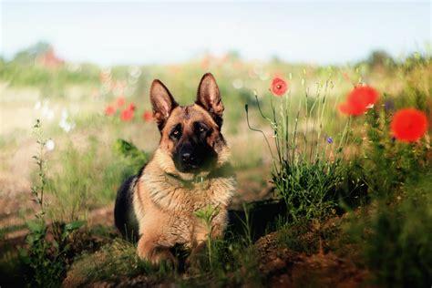 40 German Shepherd Wallpapers HD Dogs Wallpapers HD