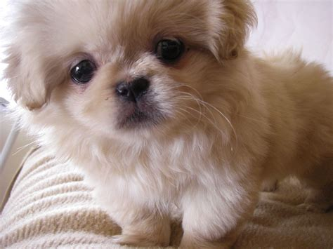 Pekingese small dog breed ~ Breeds of small dogs : best
