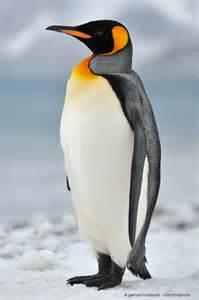 King penguin (Aptenodytes patagonicus), South Georgia Island