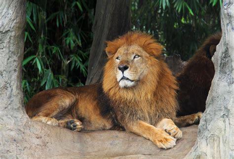 Pakistan Arrests Man for Driving Pet Lion Through Karachi